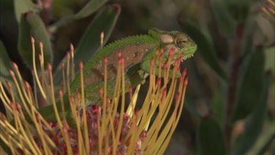 Chameleon On Protea Flower