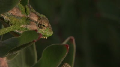 Chameleon Hunts, Grabs Insect with Sticky tongue