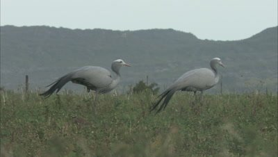 Blue Cranes Stand in Grass