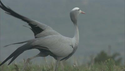 Blue Cranes Stand in Grass, One Stretches out Leg