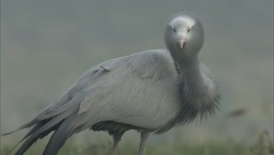 Blue Crane Stands in Grass, Grooming, Preening
