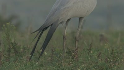 Blue Crane Stands in Grass, Zoom in to legs, tail