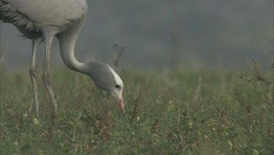 Blue Crane Feeds in Grass
