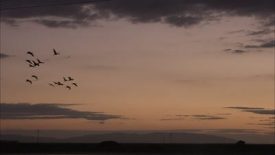 Flock of Blue Cranes Flies Across Pink Sky