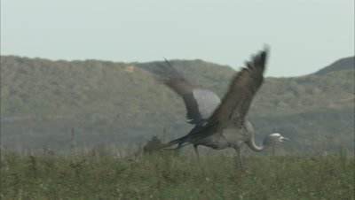 Blue Crane Jumps in air, possible mating display