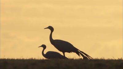 Silhouetted Blue Cranes in Field, Orange Sky