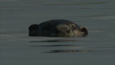 An Otter Swims, In Ocean or Marsh, Possibly African Clawless Otter