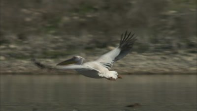 Great White Pelican Tries to Fly On Surface of Water, Clumsy