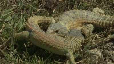 Pair of Lizards Fighting
