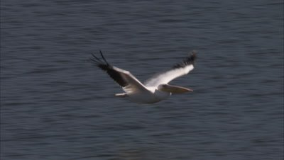Great White Pelicans Flying Over Water