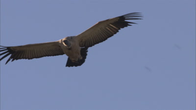 Cape Vulture Flying