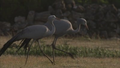 Blue Cranes Walking