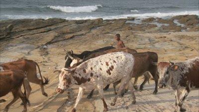 Boys Herd Cattle at Coast, Rocky Beach