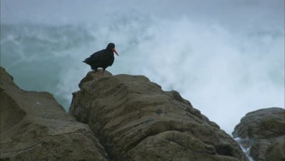 Oystercatcher Perching On A Rock