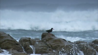 Oystercatcher Perching On A Rock
