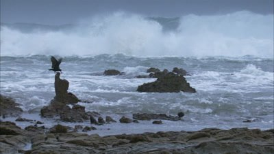 Oystercatcher Feeding on rocks