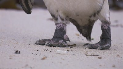 African Penguin Rests On Beach, Close up of feet