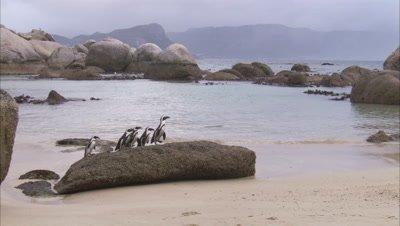 African Penguins Walk On Beach, Climb up rock
