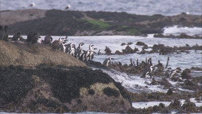 African Penguin Colony Enters Water among Kelp and rocks