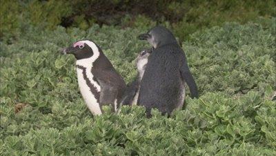 African Penguins Among foliage