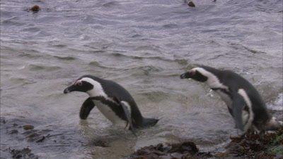 African Penguins Enter Water