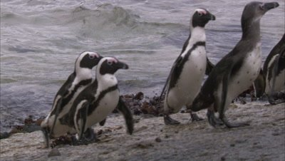African Penguins Exit Water
