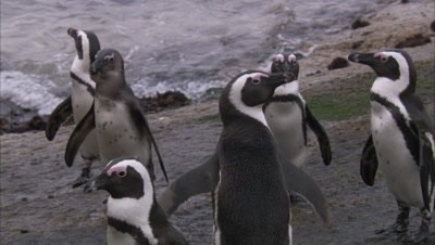 African Penguins gather On Beach