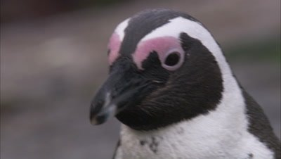 African Penguin, Close Up