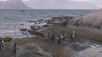 African Penguin Colony Standing On Rocky  Beach