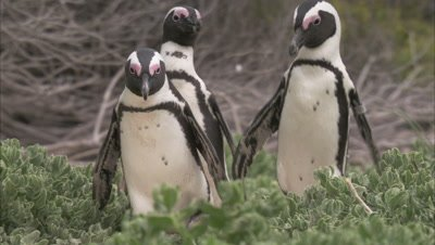 African Penguin Among foliage