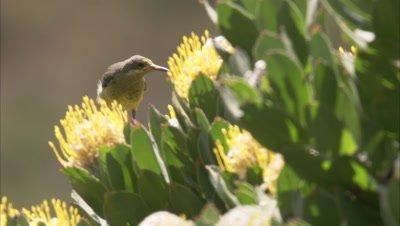 Sugarbird Feeds on Protea Flower