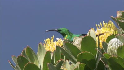 Sugarbird Feeds on Protea Flower
