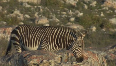 Zebra Walks in Coastal Scrub