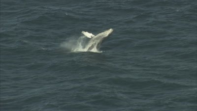 Humpback Whales Swim on Surface, One Breaches