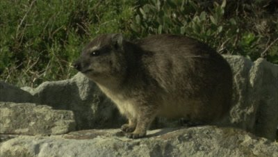 Rock Hyrax On A Rock Feature, Wall
