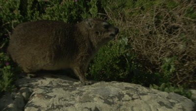 Rock Hyrax Feeds on Flowers