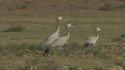 Blue Cranes Stand In Grassy Scrubland