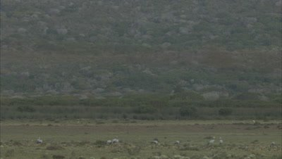 Blue Cranes Feed, Walk In Rocky Scrubland