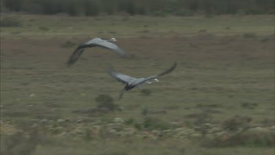 Blue Cranes Take off from rocky Scrub, Fly