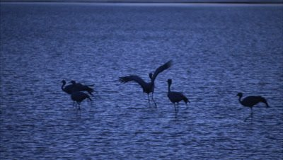 Blue Cranes Fly, Land in Wetland, Silhouetted at Dusk or Dawn
