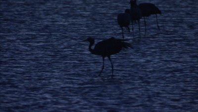 Blue Cranes Fly, Land in Wetland