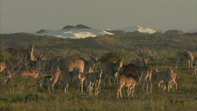 Antelope, Possibly Common Eland, Walk Near Sand dune