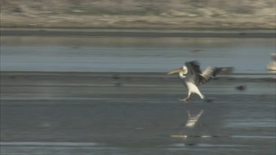 White Pelican Flying, Lands in Water