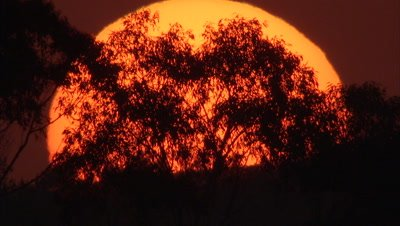 Time Lapse, Giant Orange Sun Sets Behind silhouetted Trees