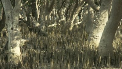 Mangroves with aerial roots