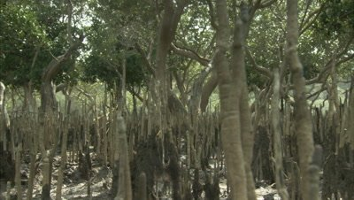 Crane Shot, Mangroves with aerial roots