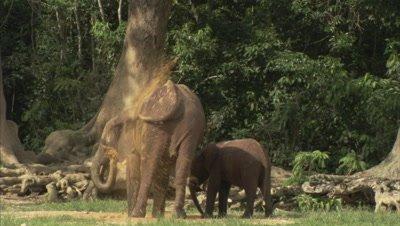 Elephant with Calf Takes Dust Bath