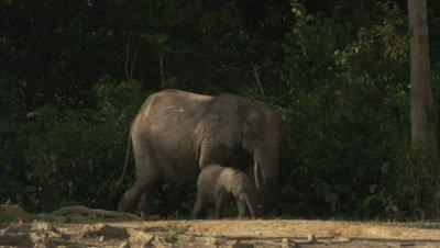 African Elephant and calf Walks Near Forest