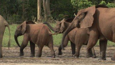 African Elephants Walk Through Watering Hole
