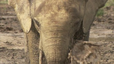 African Elephants Drinks at Watering Hole